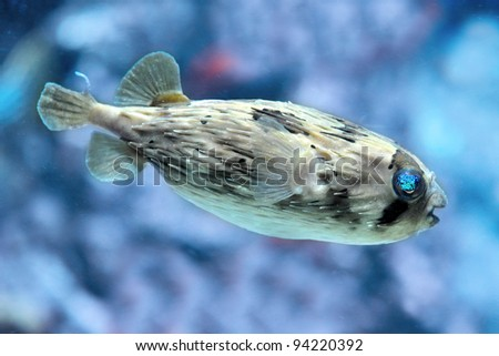Slender-spined porcupine fish, Diodon nicthemerus in an aquarium