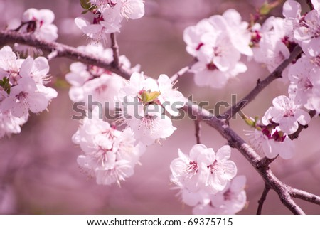 Slightly blurred beautiful sakura flowers in the morning mist (shallow DOF)
