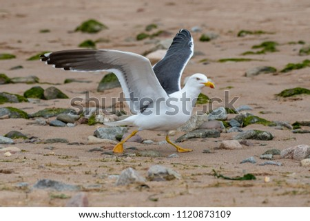 Slightly smaller than a herring gull, the lesser black-backed gull has a dark grey to black back and wings, yellow bill and yellow legs. Their world population is found entirely in Europe.  - Shutterstock ID 1120873109
