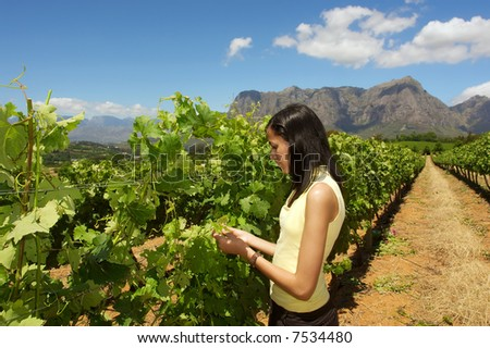 Slim mulatto girl inspects grape vine in farm among awesome mountains. Shot near Stellenbosch, Western Cape, South Africa.
