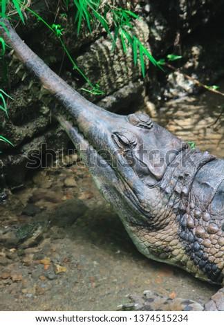 Slim snout crocodile, Crocodylus cataphractus