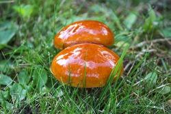 Slippery Jack also sticky bun (in german Butterpilz also Butter-Röhrling) Suillus luteus