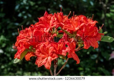 Slocock Hybrid Azalea 'Feuerwerk' (Rhododendron molle x Rhododendron calendulaceum x Rhododendron arborescens x Rhododendron occidentale) in garden, Moscow region, Russia