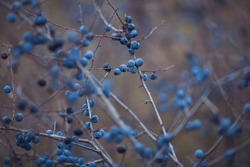 Sloe berries on the branches. Romantic autumn still life with blackthorn or sloes. Wrinkled berries of blackthorn on a bush on late Fall