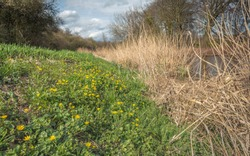 Slope of a dike in the early spring season full with bright yellow flowering lesser celandine or Ficaria verna plants. The phot was taken in a Dutch nature reserve.