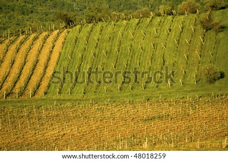 Sloping vineyard, in the Tuscany region of Italy.
