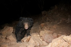 Sloth Bear captured via camera trap while it was passing dry river bed