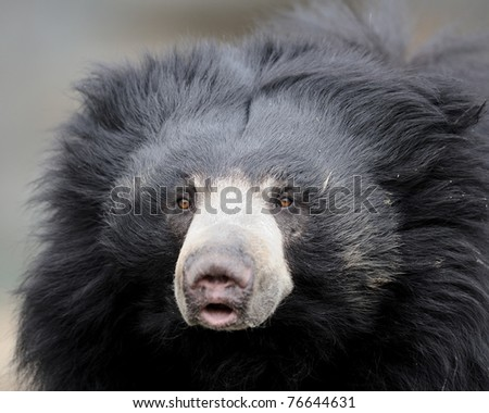 Sloth bear closeup portrait (Ursus ursinus)