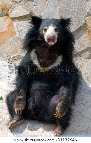 Mara the Sloth Bear Stock-photo-sloth-bear-melursus-ursinus-33132646