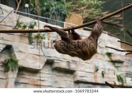 Sloth climbing around its enclosure at the zoo.