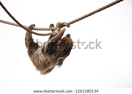 Sloth climbing on rope