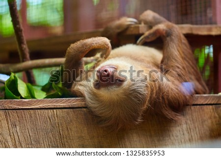 Sloth. Costa Rica. Sloths are arboreal mammals spending most of their lives hanging upside down in the trees. The six species are in two families: two-toed sloths and three-toed sloths.