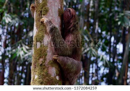 Sloth crawling on a tree trunk