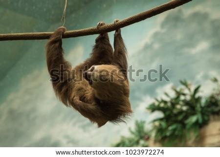 Sloth hanging around its enclosure at the zoo.