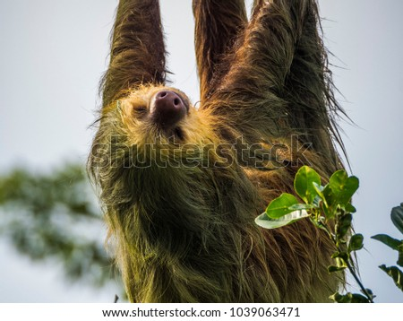 Sloth hanging from wires near Sarapiqui, Costa Rica