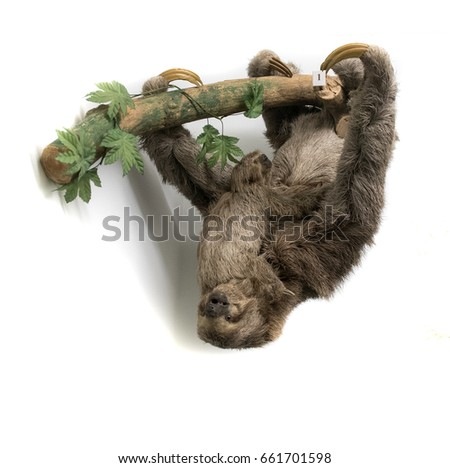 Sloth hanging upside down from branch against plain white background, studio shot. stuffed animal isolated colour picture