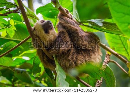 Sloth in a tree Puerto Viejo, Costa Rica.