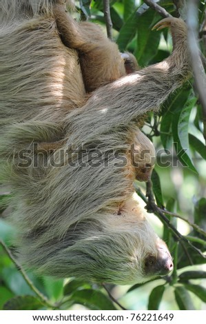 sloth, mother and baby in tree, costa rica, central america