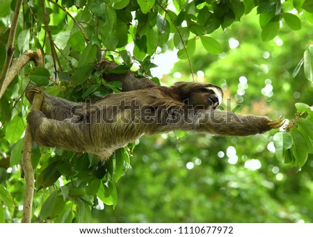 Sloth Reaching For Branch