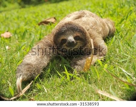 sloth, three toe juvenile costa rica 2