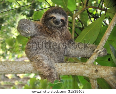 sloth three toe juvenile playful in tree , cahuita, costa rica, central america. unusual exotic mammal in lush tropical jungle