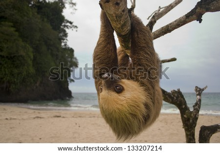 sloth, three toe male juvenile hanging in tree in tropical rainforest jungle,  costa rica, central america. latina countries call them osos perezosos which means lazy bear
