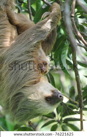 sloth, three toe sloth mother with baby in tree, cahuita, costa rica, latin america