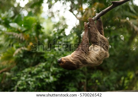 sloth were hung on the branches to find plants to eat. #570026542