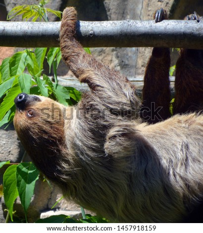 Sloths are arboreal mammals noted for slowness of movement and for spending most of their lives hanging upside down in the trees of the tropical rainforests of South America and Central America