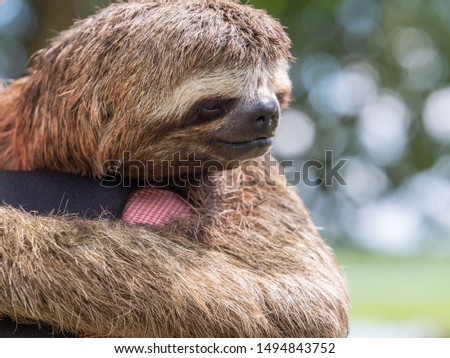 Sloths are arboreal mammals noted for slowness of movement and for spending most of their lives hanging upside down in the trees of the tropical rain forests of South America. Amazonia.