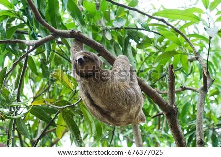 Sloths In Costa Rica Wildlife Rescue Volunteer Centre