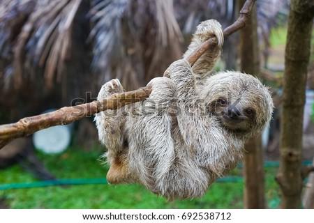 Sloths in Rescue Centre in Costa Rica San Jose