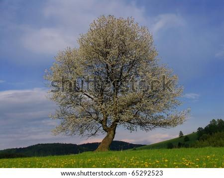 Slovakia beauty, flowering cherry tree