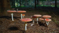SLOW MOTION CLOSE UP Group of red poisonous mushrooms growing wild under a tree deep in the autumn forest. Deadly coral fungi sprouting on fertile forest soil. Beautiful amantia muscaria in the woods