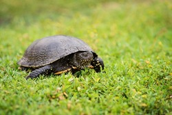 Slow reptile with carapace in the grass, close up. Black turtle on green fresh grass, wildlife, nature.
