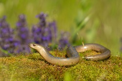 Slow worm (Anguis fragilis) slithering across mossy terrain with colorful flowers in the background