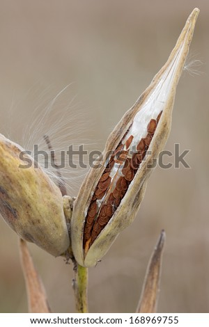 Slowly unzipping, a milkweed pod opens its seeds to the prairie. The seeds, with their leathery pouch and silky hair, line themselves inside the pod ready to float into the meadow.