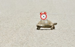 Slowness and sluggishness in business concept with turtle holding alarm clock on a shell and slowly crawling over asphalt road