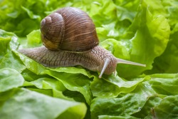 Slug eating lettuce leaf. Snail invasion in the garden