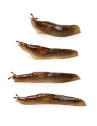 Slug on white background