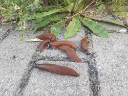 Slug, or land slug or shell-less terrestrial gastropod mollusc on the concrete blocks of the pavement.