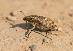 sluggish or large thistle weevil (Cleonis pigra) beetle on sandy ground