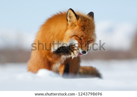 Sly Fox. Red fox (Vulpes) licks tongue paw. The photo was taken during the winter season in the Arctic in the tundra in the wild. Wildlife of Chukotka. Siberia, Russia. Chukotka Autonomous Region.