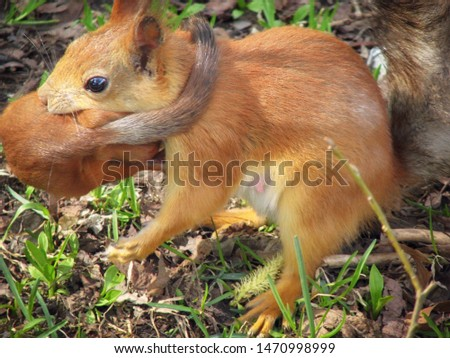 Small a red-haired a squirrel transfers mother. Little squirrel baby is carried by a mom. #1470998999