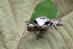 Small amazon milk frogs appear in the middle of dried leaves, Panda Bear Tree Frog, Trachycephalus resinifictrix