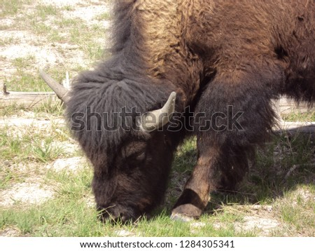 Small American Bison