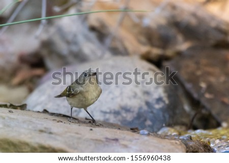 Small and colorful Cassins Vireo bird takes a peek to the right before taking a drink in the flowing creek water.