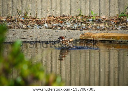 Small and delicate sparrow, Asian sparrow in park, House sparrow (Passer domesticus) family sparrows (Passeridae) #1359087005