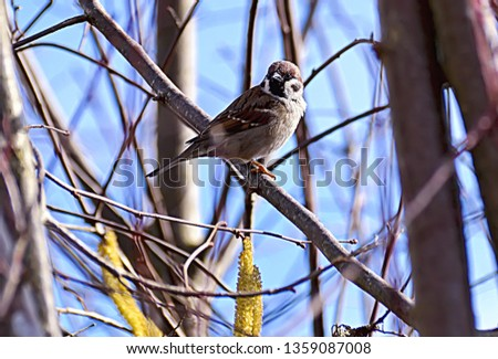 Small and delicate sparrow, Asian sparrow in park, House sparrow (Passer domesticus) family sparrows (Passeridae) #1359087008