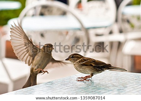 Small and delicate sparrow, Asian sparrow in park, House sparrow (Passer domesticus) family sparrows (Passeridae) #1359087014